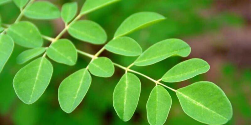 19 من أهم أضرار نبات المورينجا