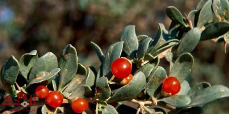 22 فائدة صحية لنبات العوسج